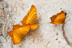 Common Cruiser butterfly Stock Image