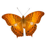 Common cruiser butterfly isolated Royalty Free Stock Photography