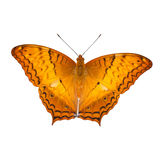 Common cruiser butterfly isolated Stock Photos