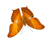 Common cruiser butterfly isolated Royalty Free Stock Images