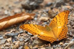 Common Cruiser butterfly on rocks stock photography