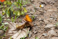 Common cruiser butterfly stock photos