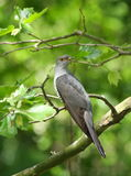 Common Cuckoo stock photo