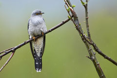 Common cuckoo. Perching common cuckoo (Cuculus canorus royalty free stock image