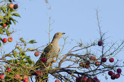 Common Cuckoo. In an Apple Tree Stock Photography