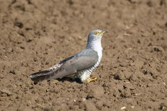 Common Cuckoo, Cuculus canorus Stock Images
