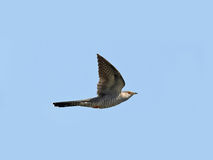 Common Cuckoo (Cuculus canorus) Royalty Free Stock Photos