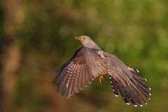 Common cuckoo. Cuculus canorus. Cuckoo. Common cuckoo. Cuculus canorus Royalty Free Stock Images