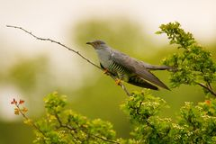 Common cuckoo Cuculus canorus. Sitting on a branch Stock Photography