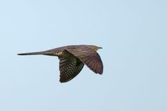 Common Cuckoo / Cuculus canorus ( Europe. Common Cuckoo in flight / Cuculus canorus ( European Cuckoo Stock Image