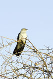 Common Cuckoo / Cuculus canorus Royalty Free Stock Image