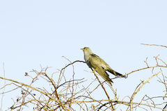 Common Cuckoo / Cuculus canorus Stock Photo