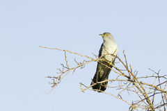 Common Cuckoo / Cuculus canorus Stock Photography