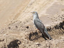 Common Cuckoo Cuculus canorus Stock Photography