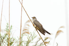 Common Cuckoo Cuculus canorus ( European Cuckoo) Stock Image