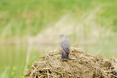 Common Cuckoo / Cuculus canorus ( European Cuckoo) Stock Photo