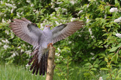 Common Cuckoo. Cuculus canorus. Male Stock Photography