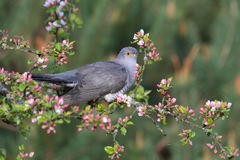 Common Cuckoo. Cuculus canorus. Male.  Royalty Free Stock Image