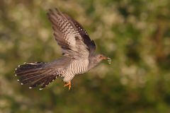 Common Cuckoo. Cuculus canorus. Male.  Royalty Free Stock Photos