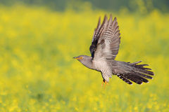 Common Cuckoo. Cuculus canorus. Male.  Royalty Free Stock Photo