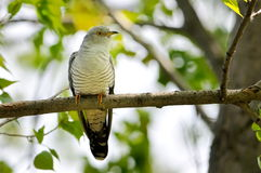 The Common Cuckoo (Cuculus canorus) Royalty Free Stock Images
