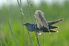 Common cuckoo Cuculus canorus. On reed against green background Stock Image