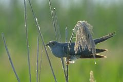 Common cuckoo & x28;Cuculus canorus& x29;. Common cuckoo & x28;Cuculus canorus& x29; on reed against green background Stock Photos