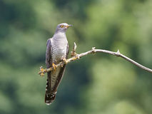 Common Cuckoo (Cuculus canorus) Stock Photography