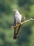 Common Cuckoo (Cuculus canorus) Royalty Free Stock Images