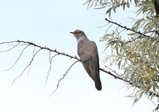 The common cuckoo Cuculus canorus. Sits on a branch against the blue sky. Close-up photo Royalty Free Stock Photography