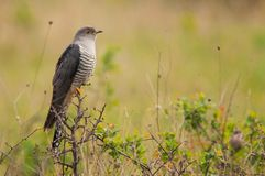 Common cuckoo Cuculus canorus sitting on a barbed branch royalty free stock photography