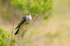 Common cuckoo Cuculus canorus sitting on a barbed branch and juggles a prey.  Royalty Free Stock Image