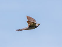 Common cuckoo in flight Stock Photo