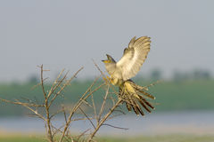 Common Cuckoo landing on the bush / Cuculus canoru Royalty Free Stock Photography
