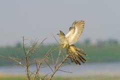 Common Cuckoo landing on the bush / Cuculus canoru. S ( European Cuckoo Royalty Free Stock Photography