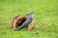 The common cuckoo on the ground foraging. The common cuckoo is a member of the cuckoo order of birds, Cuculiformes, which includes the roadrunners, the anis and stock photography