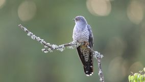 The common cuckoo perched on a bough stock footage
