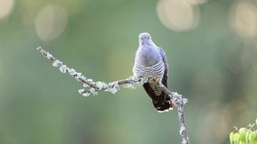 The common cuckoo perched calling stock video