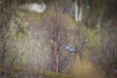 Common Cuckoo Royalty Free Stock Photography