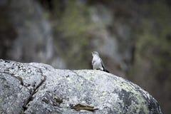 Common cuckoo Stock Photos