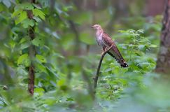Common Cuckoo sits deep in the green foliage royalty free stock image