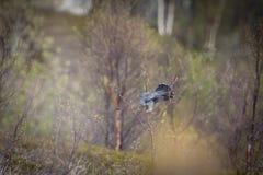 Common cuckoo stock photo