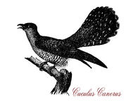 Common cuckoo,  wildlife vintage engraving Royalty Free Stock Photography