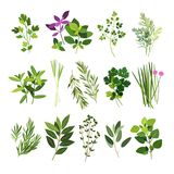 Collection of most common culinary herbs Royalty Free Stock Image