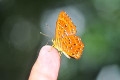 Common cunchinello butterfly 2. Common cunchinello butterfly of thailand background Stock Photography