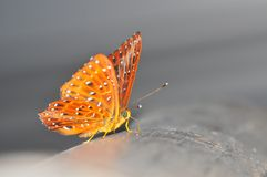 Common cunchinello butterfly. Of thailand background Royalty Free Stock Photos