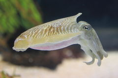 Common cuttlefish. The european common cuttlefish (Sepia officinalis Royalty Free Stock Photos