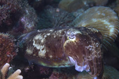 Common cuttlefish in coral reef Royalty Free Stock Images