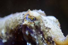 Common Cuttlefish Stock Images