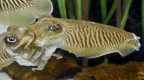 Common cuttlefish 1 Royalty Free Stock Photo